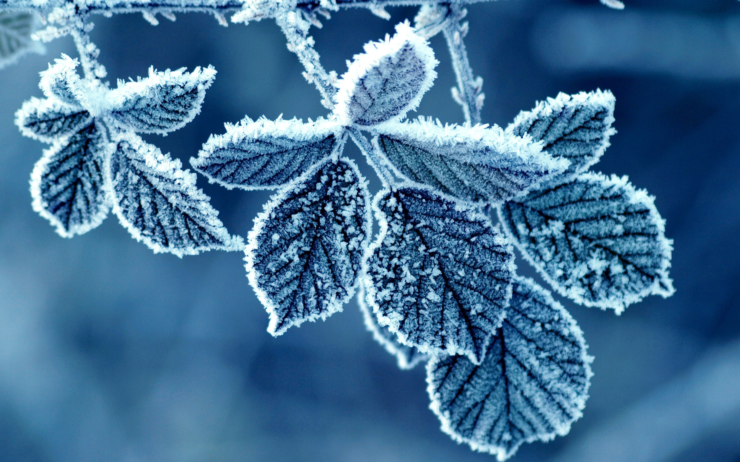 frost-blue-leaves-winter-nature