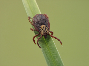tick expecting a victim
